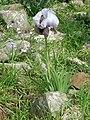 Iris waterfall3285.JPG