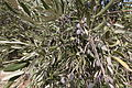 Israel Olive Picking (8157009325).jpg