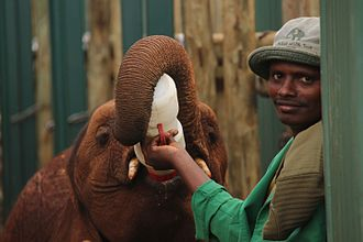 David Sheldrick Wildlife Trust - Image: Ivory Orphans of Kenya 2013 (14908373285)