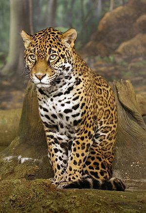 Fauna of Nicaragua - The jaguar is the largest felid in Nicaragua