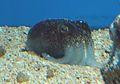 Japanese Bobtail Squid (Sepiolina nipponensis) - GRB.jpg