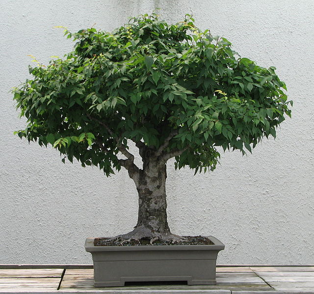 File japanese zelkova 1895 wikimedia commons for Bonsai prezzi