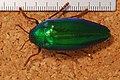 Jewel Beetle (Sternocera ruficornis) (8247653334).jpg