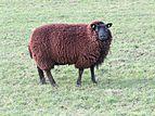 Jibea mouton noir muiden 2017 02.jpg
