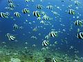 Jon hanson - schooling bannerfish school (by-sa).jpg