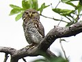 Jungle owlet IMG 2691.jpg