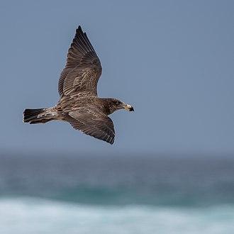 Pacific gull - Juvenile Pacific Gull in flight, Cape Woolamai, Victoria
