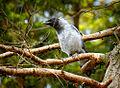 Juvenile crow (18377090835).jpg