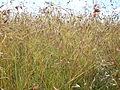 Kangaroo grass (3214544187).jpg