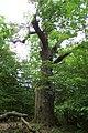 Karlštejn, památný strom.JPG