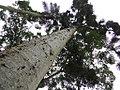 """Kauri """"Agathis australis"""" (8152060139).jpg"""