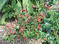 Keckiella cordifolia red - Flickr - peganum.jpg