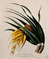 Ketaki (Pandanus tectorius Sol. ex Parkinson); flower and yo Wellcome V0043046EL.jpg