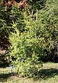 Keteleeria davidiana - Quarryhill Botanical Garden - DSC03486.JPG