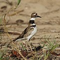 Killdeer (5398641549).jpg