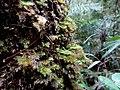 Kinabalu Park, Ranau, Sabah, Malaysia - panoramio (6).jpg