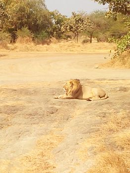 King of jungle - Asiatic Lion.jpg