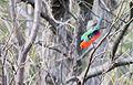 King parrot 1 (16728401844).jpg
