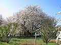 Kitamoto Ishitokabazakura Side 2.JPG