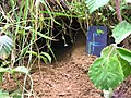 Kiwi burrow entrance.jpg