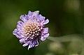 Knautia arvensis subsp. pannonica (7235152350).jpg