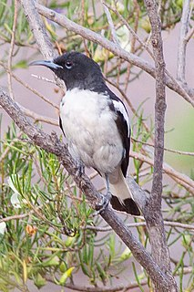 Pied honeyeater species of bird