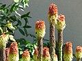 Kniphofia uvaria Périgueux (2).JPG
