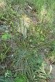 Koeleria macrantha kz02.jpg