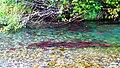 Kokanee Spawing in the Wallowa River (37785553266).jpg
