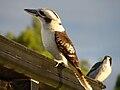 Kookaburra pose.jpg