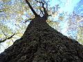 Kora drveta.JPG