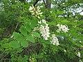 Korina 2014-05-16 Robinia pseudoacacia 1.jpg