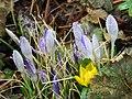 Krokus und Winterling 102 - Flickr - lilli2de.jpg