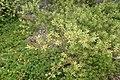 Kunzea robusta kz1.jpg