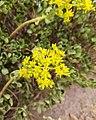 Lágrima de maría - Sedum dendroideum (Crassulaceae).jpg