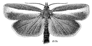<i>Gelophaula trisulca</i> species of insect