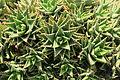 La Palma - Barlovento - Calle La Fajana - Aloe perfoliata 05 ies.jpg