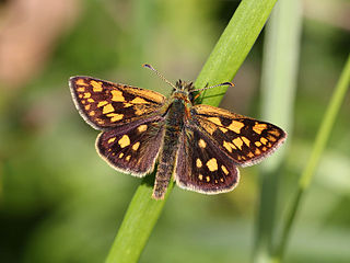 Chequered skipper Species of butterfly
