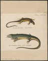 Lacerta viridis - 1700-1880 - Print - Iconographia Zoologica - Special Collections University of Amsterdam - UBA01 IZ12400099.tif