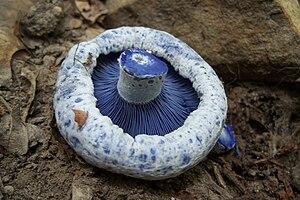 Lactarius indigo - Image: Lactarius indigo 48609