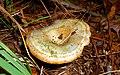 Lactarius pseudodeliciosus Beardslee & Burl 189688.jpg
