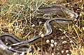 Ladder Snake (Rhinechis scalaris) (36382607425).jpg