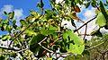 Laguncularia racemosa (L.) Gaertn. f. - Flickr - Alex Popovkin, Bahia, Brazil.jpg