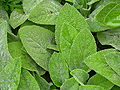 Lamb's Ear Stachys byzantina Leaves 3264px.JPG