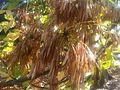 Lamiales - Fraxinus latifolia 2.jpg