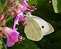 Large white. Pieris brassicae (43762589201).jpg