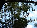 Lascar Bats hanging from a tree - Royal Botanic Gardens (4608193210).jpg