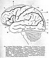 Lateral view of the human brain, 1873 Wellcome L0001997.jpg