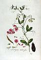 Lathyrus tuberosus — Flora Batava — Volume v3.jpg