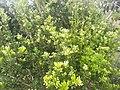 Laurel leaves.jpg